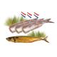 Actie 3 haringen + gerookte makreel