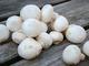 Witte champignons (250 gram)